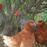 Grupo de gallinas