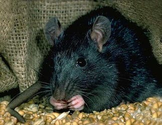 Rata negra comiendo entre sacos de alimentos