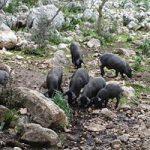 Manada de cerdos en el campo