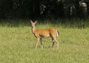 Paisaje de Estado de Virginia Oeste, ciervo