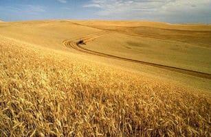 Extensos campos de trigo