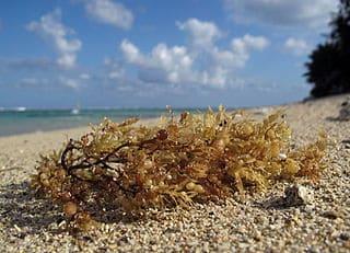 Mata de sargazos en la playa