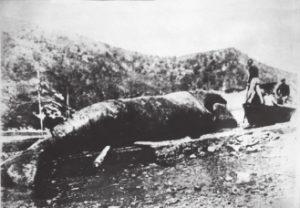 Ballena capturada por vascos